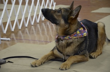 "At the New England Training Club a German shepherd practices the ""leave it"" exercise by not eating the scrumptious treat on his paw. The exercise teaches focus and control. Photo: Pam Cyran"