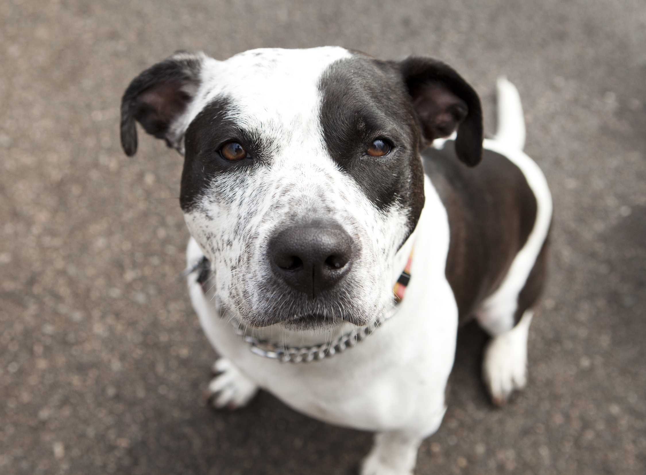 Nena, the 4-year-old pit bull mix. Courtesy photo by owner Sam Falkoff
