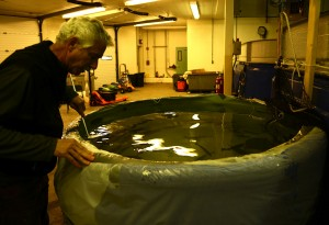 Jan Schlitchmann tends to a new group of sea-run trout.